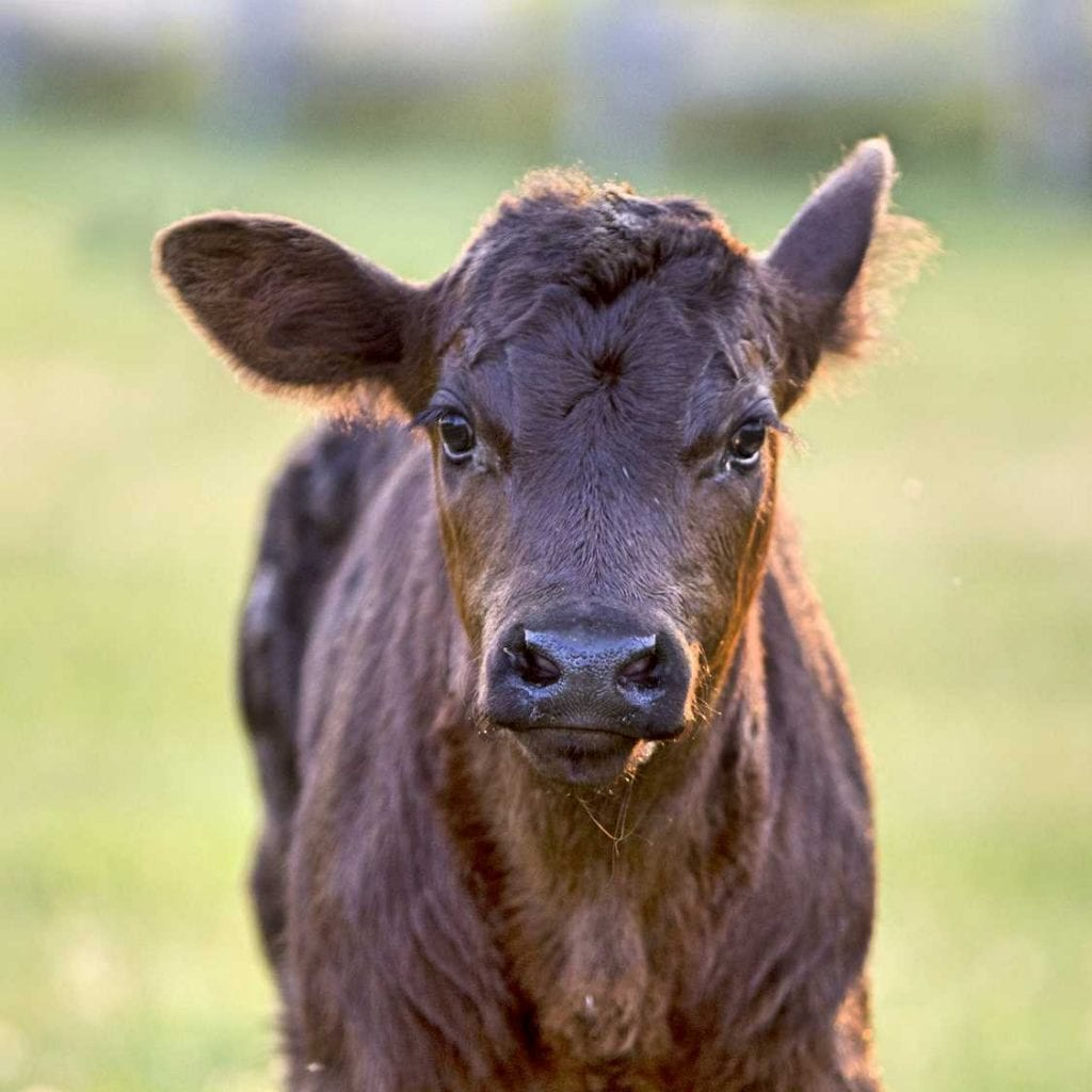 Benefits of Preconditioning Calves for Sale