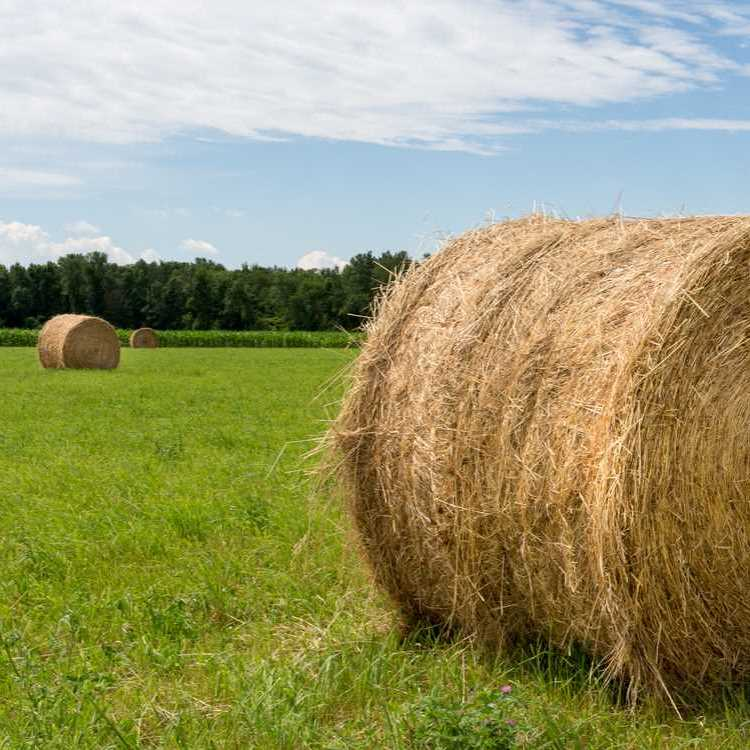 Impact of Hay on Cattle Prices