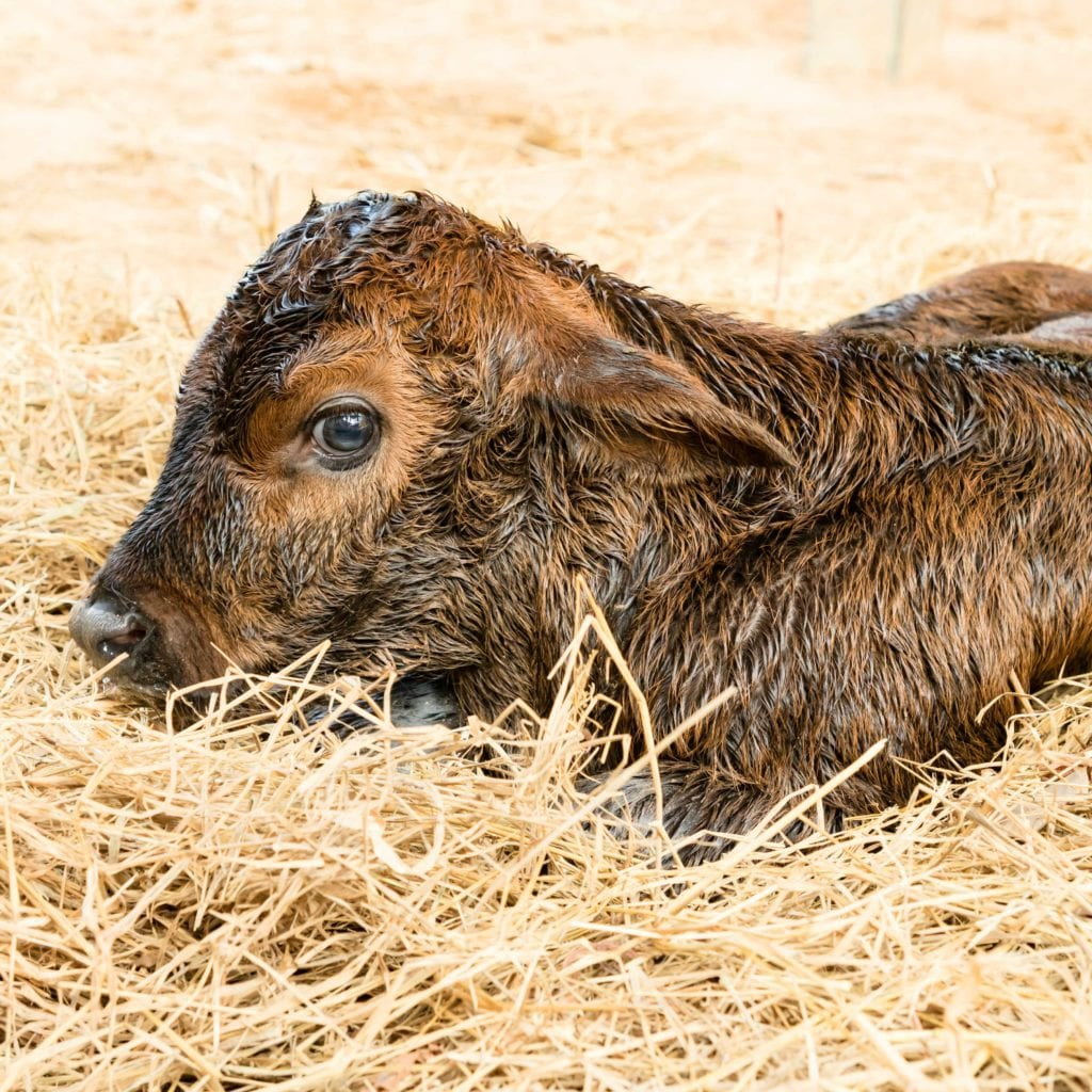 Reducing the Risk of a Scours Outbreak in Your Herd - Sale Barn
